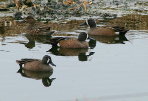 Blue-winged Teals.