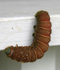 Luna moth caterpillar.