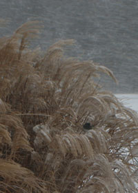 junco in the blizzard