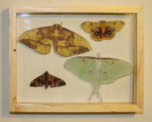 Framed moths.